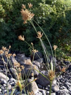 גומא הירקון Cyperus corymbosus Rottb.