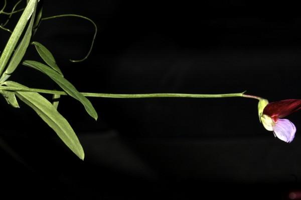טופח ספרדי Lathyrus clymenum L.