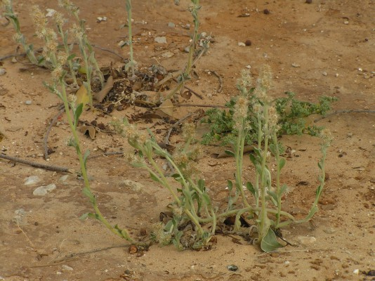 לבדן פנסילווני Gamochaeta pensylvanica (Willd.) Cabrera