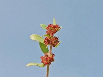 העלים נגדיים; העלה שעיר, שפתו משוננת. מספר איברי הפרח (כאן הגביע) בכפולה של 5.