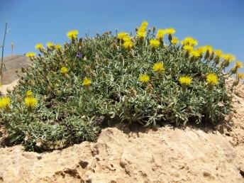 צמחי חרמון, רב-שנתיים צפופים הגדלים בין סלעים.