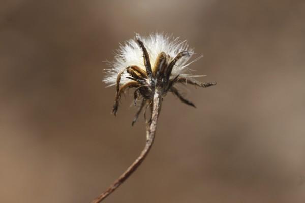 ניסנית מעוצה Crepis robertioides Boiss.