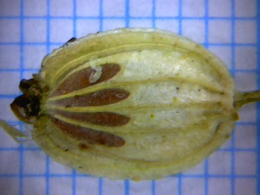 Heracleum humile Sm.