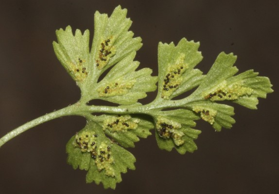 אספלנון הנקיקים Asplenium ruta-muraria L.