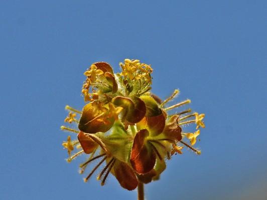 דבקנית עטורה Cruciata coronata (Sm.) Ehrend.