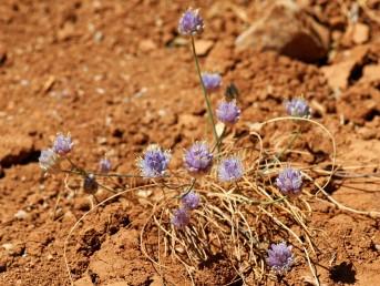 צמחים נמוכים, תכולי פרחים של דולינות החרמון הגבוה