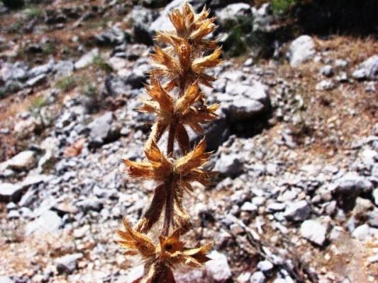 אשבל ברזילוני Stachys woronowii (Schischk. ex Grossh.) R.R.Mill