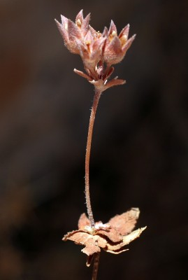 Androsace maxima L.