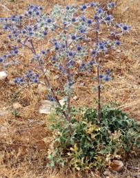 צמחי חרמון, גובה הצמחים 70 ס