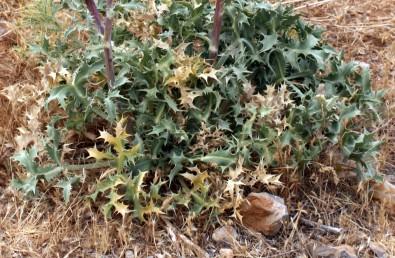 העלים התחתונים גזורים, על פי רוב ירוקים בעת הפריחה, אונותיהם רחבות.