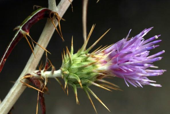 ארנין קוצני Ptilostemon diacantha (Labill.) Greuter