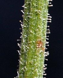 העלים והחפים מכוסים שערות שצורתן עוגן בעל 4-2 ענפים.