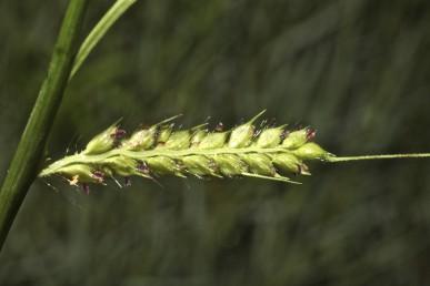 המוץ התחתון של הפרח התחתון בעל חוד פתאומי או בעל מלען. ציר האשכולות נושא זיף ארוך בבסיס כל שיבולית.