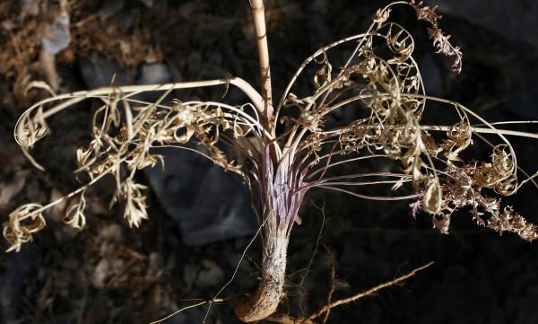Johrenia dichotoma DC.