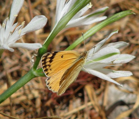 Vagaria parviflora (Desf. ex Delile) Herb.