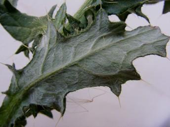 פני העלה התחתונים מכוסים שערות בהירות הדומות לקורי עכביש.