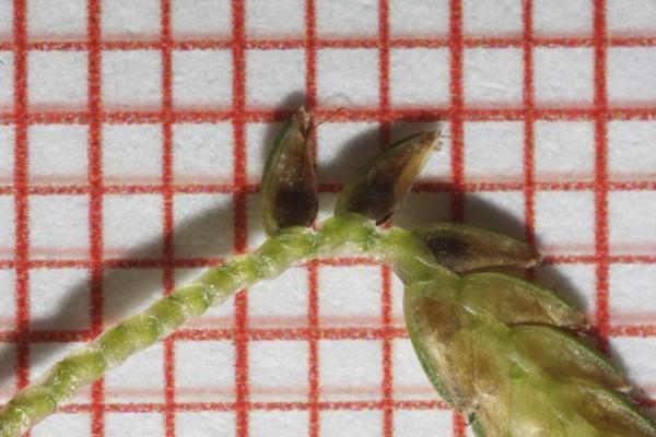 גומא צהבהב Cyperus flavescens L.