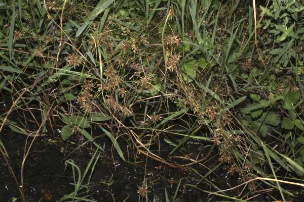 Cyperus flavidus Retz.