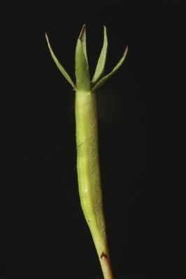 מדד זוחל Ludwigia stolonifera (Guill. & al.) Raven