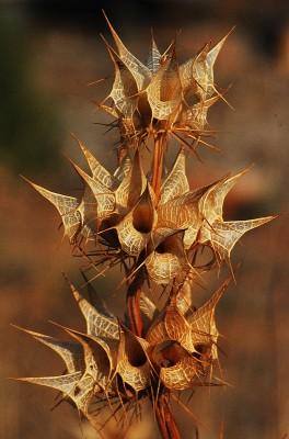 בר-גביע קוצני Moluccella spinosa L.