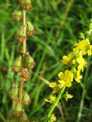 אבגר צהוב Agrimonia eupatoria L.