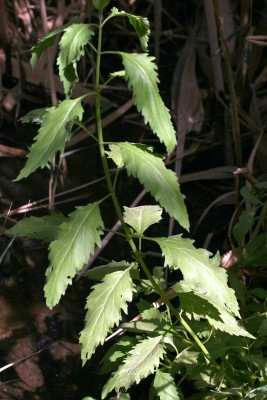 גדותן הביצות Eupatorium cannabinum L.