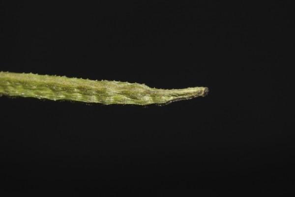 Corchorus trilocularis L.