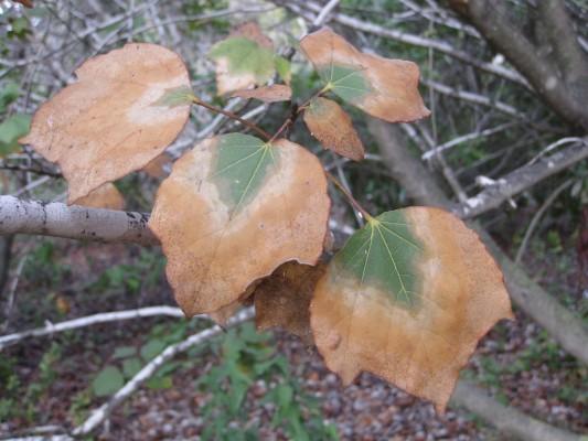 Acer obtusifolium Sm.