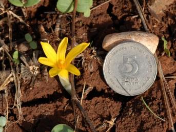 הפרחים מופיעים לפני העלים; רוחב אונות העטיף אינו מגיע ל-5 מ