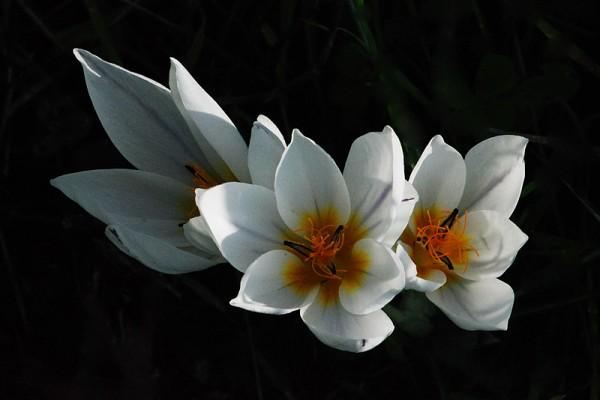 Crocus hyemalis Boiss. & Blanche