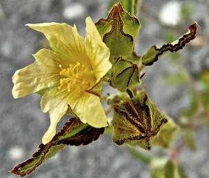 צבע הפרחים צהוב-קרם פקעי הפריחה בעלי 5 פסים שצבעם חום כהה.