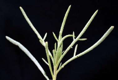 העלים ואונות העלים אינם דוקרניים. צמחי בקעת ים-המלח.