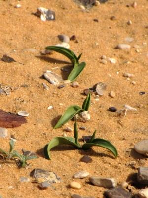 לשון-אפעה רבת-עלים Ophioglossum polyphyllum A.Braun