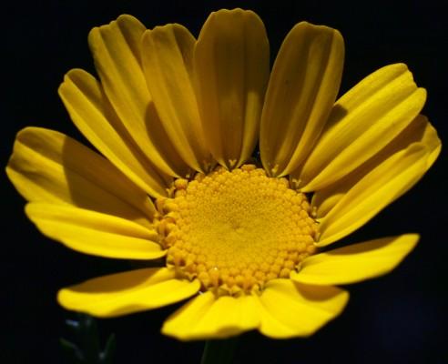 Glebionis coronarium (L.) N.N. Tzvel.