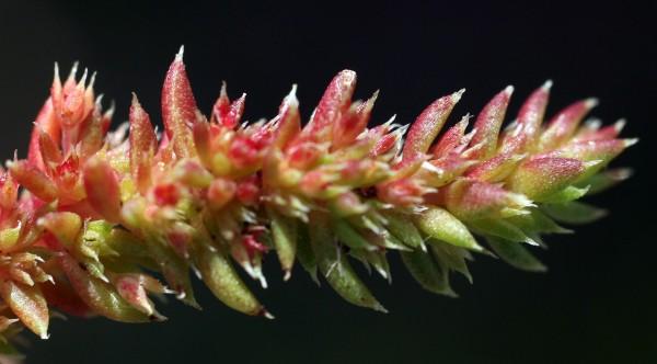קרסולה מכונפת Crassula alata (Viv.) A.Berger