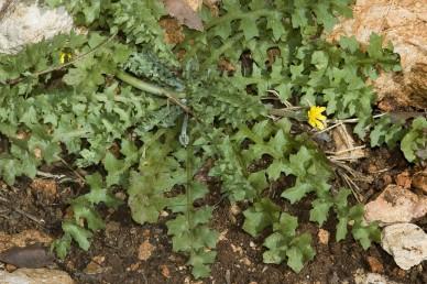 צמחים חד-שנתיים הדוקים לקרקע ללא גבעול תפרחת. התפרחת נישאת על עוקץ חלול המתעבה כלפי מעלה.