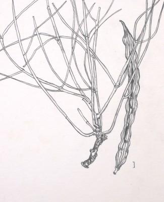 מורינגה רותמית Moringa peregrina (Forssk.) Fiori
