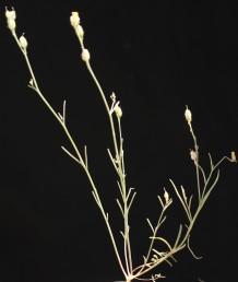 העלים של הגבעולים נושאי תפרחות הינם דמויי סרגל או דמויי חוט, רוחבם 1.5-1 מ