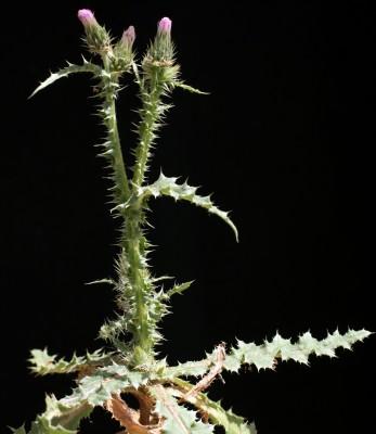 קרדת המדבר Carduus getulus Pomel