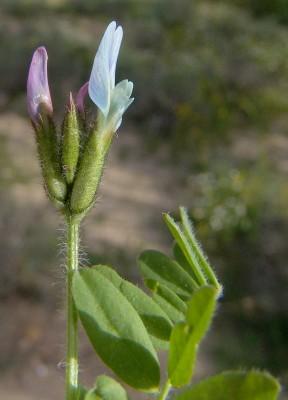 קדד שעיר Astragalus hispidulus DC.