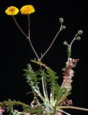 מררית שסועה Picris asplenioides L.