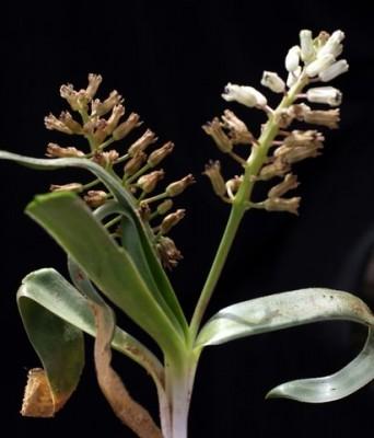 זמזומית מושיוף Bellevalia mosheovii Feinbrun