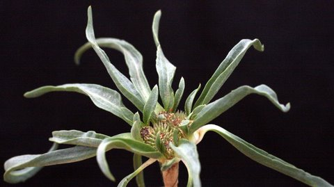 מוצנית קטנת-פרחים Gymnarrhena micrantha Desf.
