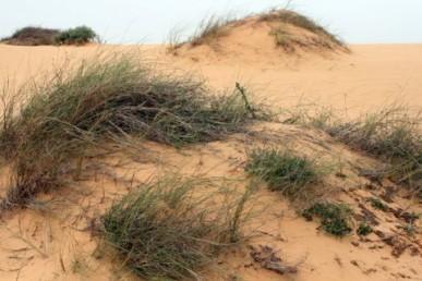 דגן רב-שנתי הגדל בחולות נודדים של מערב הנגב. בצמיחה מעל החול שכלא יוצר תלוליות.