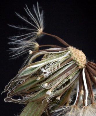 כתמה עבת-שורשים Leontodon tuberosus L.