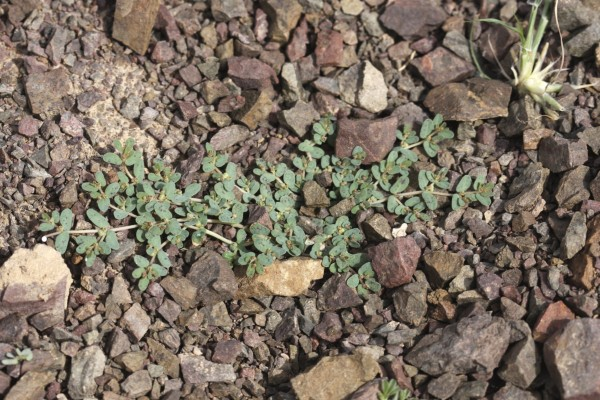 חלבלוב מגורגר Euphorbia granulata Forssk.
