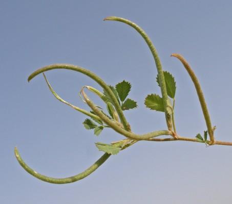 גרגרנית חד-פרחית Medicago monantha (C.A.Mey.) Trautv.