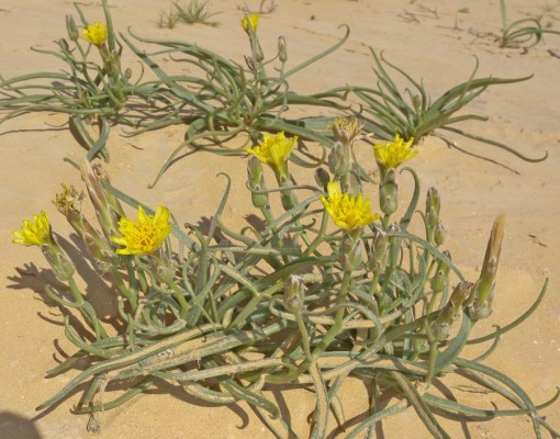 הרדופנין נמוך Scorzonera pusilla Pall.