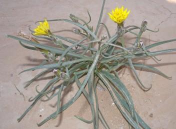 העלים דמויי סרגל או נימיים, ראשם מאונקל. צבע הפרחים צהוב.