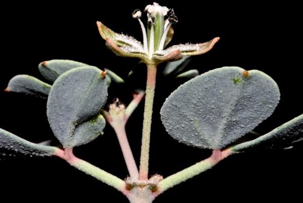 זצניה מזרחית Seetzenia lanata (Willd.) Bullock